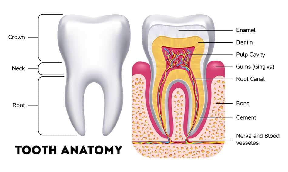 Illustration of tooth anatomy & dentin